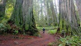 redwood-2