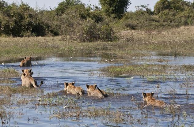 lions au botswana