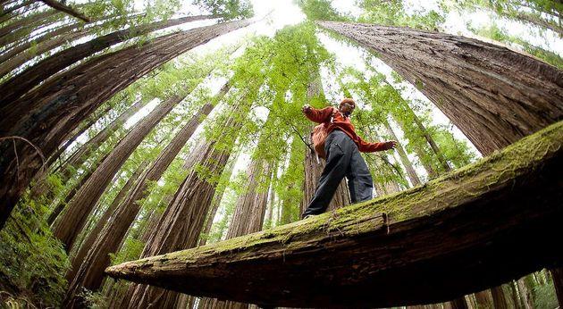 arbres géants du redwood parc
