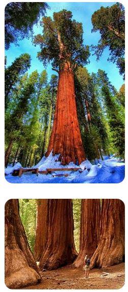 arbres géants du Redwood