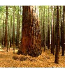 arbres géants de Californie