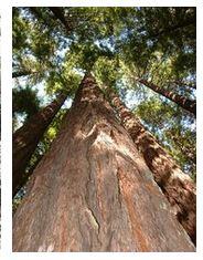 séquoias du Redwood National Park Californie